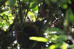 Female Red-bellied Lemur (Eulemur rubriventer) [madagascar_4957]
