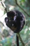 Milne-Edwards' Sifaka (Propithecus edwardsi) feeding