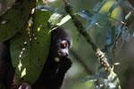 Milne-Edwards' Sifaka (Propithecus edwardsi) [madagascar_4986]