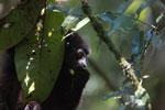 Milne-Edwards' Sifaka (Propithecus edwardsi) [madagascar_4988]