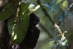 Milne-Edwards' Sifaka (Propithecus edwardsi) [madagascar_4990]