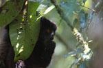 Milne-Edwards' Sifaka (Propithecus edwardsi) [madagascar_4994]
