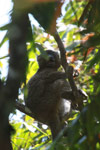 Greater Bamboo Lemur (Prolemur simus), one of the world's rarest lemurs, eating bamboo [madagascar_5017]