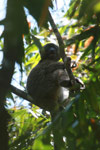 Greater Bamboo Lemur (Prolemur simus), one of the world's rarest lemurs