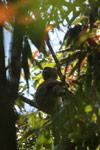 Greater Bamboo Lemur (Prolemur simus) [madagascar_5021]