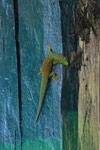 Phelsuma [madagascar_5033]