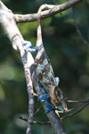Stunning male Calumma crypticum chameleon [madagascar_5052]