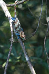 Blue, orange, and green Calumma crypticum chameleon [male] [madagascar_5054]