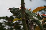 Rainforest Chameleon (Furcifer balteatus) [male] [madagascar_5081]