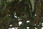 Female Furcifer balteatus chewing an insect [madagascar_5121]