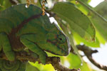 Female Furcifer balteatus chameleon
