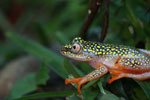 White Spotted Reed Frog (Heterixalus alboguttatus) [madagascar_5142]