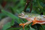 White Spotted Reed Frog (Heterixalus alboguttatus) [madagascar_5145]
