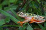 White Spotted Reed Frog (Heterixalus alboguttatus) [madagascar_5147]