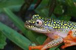 White Spotted Reed Frog (Heterixalus alboguttatus) [madagascar_5151]