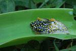 White Spotted Reed Frog (Heterixalus alboguttatus) [madagascar_5154]