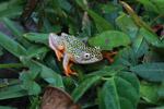 White Spotted Reed Frog (Heterixalus alboguttatus) [madagascar_5156]
