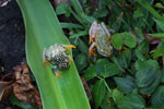 White Spotted Reed Frog (Heterixalus alboguttatus) [madagascar_5160]