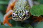 White Spotted Reed Frog (Heterixalus alboguttatus) [madagascar_5164]