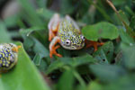 White Spotted Reed Frog (Heterixalus alboguttatus) [madagascar_5168]
