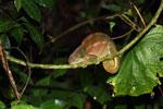 Sleeping female O'Shaughnessy's Chameleon (Calumma oshaughnessyi) [madagascar_5201]