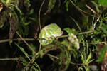 Sleeping Furcifer balteatus chameleon