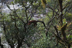 Red-bellied Lemur leaping in the forest canopy