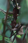Satanic Leaf-tail Gecko (Uroplatus phantasticus) [madagascar_5221]