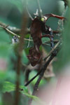 Satanic Leaf-tail Gecko (Uroplatus phantasticus) [madagascar_5224]