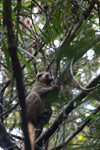 Golden bamboo lemur [madagascar_5244]