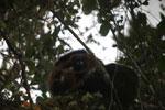 Male Red-bellied Lemur