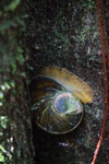 Helicophanta farafanganensis land snail, which eats moss and fungi and is hunted by the short-legged ground roller
