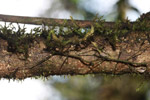 Mossy stick insects