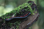 Dark red millipede with magenta legs