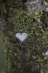 Heart-shaped lichen [madagascar_5336]