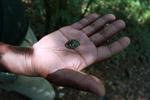Polybothris Jewel beetle (family Buprestidae) [madagascar_5352]