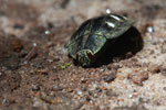 Metallic Jewel beetle (family Buprestidae)