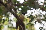 Pollen's Vanga (Xenopirostris polleni) [madagascar_5371]