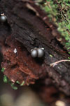Silver fungi