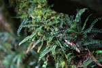 Tiny epiphytic ferns