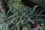 Tiny epiphytic ferns [madagascar_5393]