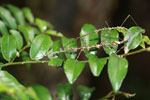 Stick insects mating [madagascar_5419]