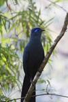 Blue Coua (Coua caerulea)  [madagascar_5510]