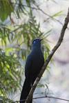 Blue Coua (Coua caerulea)  [madagascar_5511]