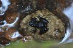Mantidactylus luteus