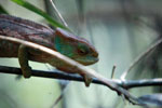 O'Shaughnessy's Chameleon (Calumma oshaughnessyi) [madagascar_5520]