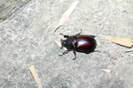 Scarab, family Scarabaeidae