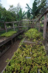 Seedlings in a nursery for reforestation [madagascar_5558]
