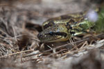 Madagascar ground boa (Boa madagascariensis) [madagascar_5595]