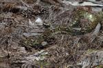 Madagascar ground boa (Boa madagascariensis) [madagascar_5596]